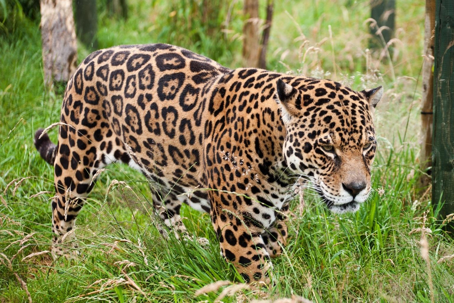 Adopt a Jaguar